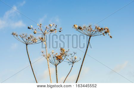 Closeup of overblown and withered cow parsley or Anthriscus sylvestris flowers and seed heads against a blue sky on a sunny day in the beginning of the Dutch winter season. The photo illustrates the life cycle and it can be used as a metaphor.