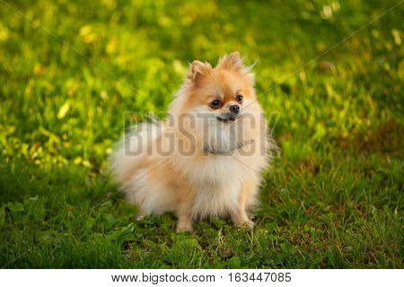 Beautiful Red Dwarf Spitz On Green Lawn