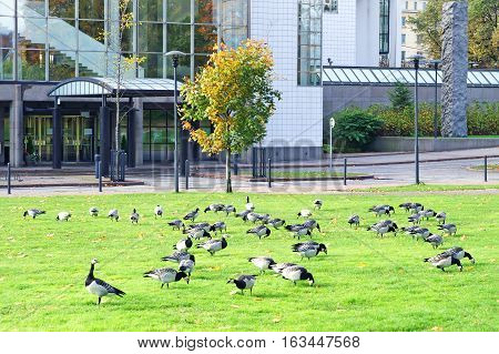 Barnacle Geese Branta leucopsis near office center in Stockholm, Sweden
