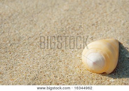 yellow cockleshell on sand closeup