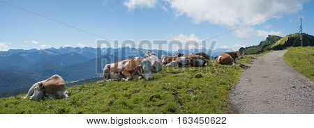 cattle herd beside hiking trail idyllic mountain landscape in the bavarian alps