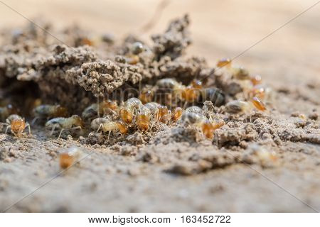 Closeup eating rotten wood termite colony. And to build a house termite In the poor light
