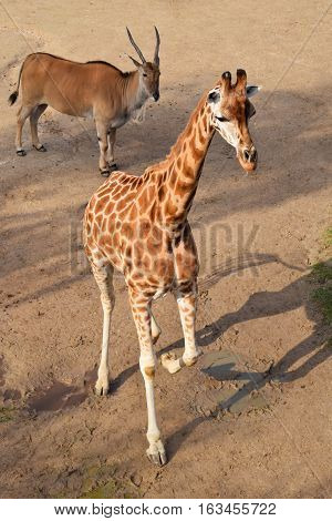 Giraffe calf and eland antelope in the zoo