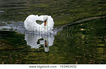 White swan floating on the surface of the water in the lake in the woods.