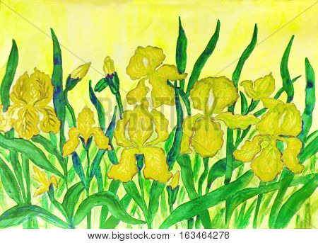 Hand painted picture watercolours flower bed with many yellow irises on yellow background.