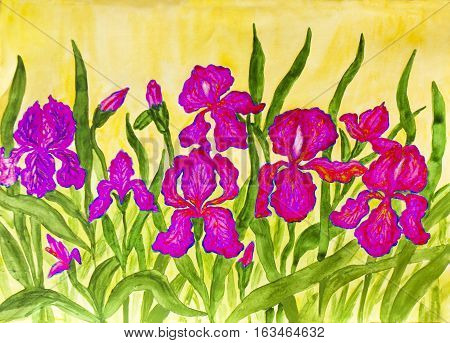 Hand painted picture watercolours flower bed with many pink irises on yellow background.