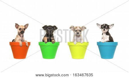 Four chihuahua puppy dogs sitting in colorfull flowerpots in a row on a white background