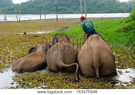 25 May 2012 Xayabouli Lao PDR: A mahout trains brings his elephants for a swim and bath in the river.