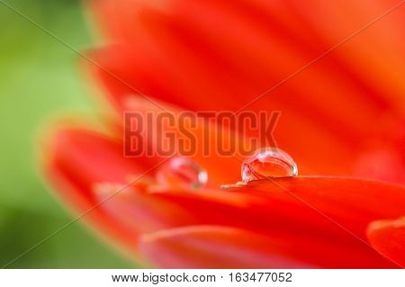 Orange daisy colors in water drops with nature background