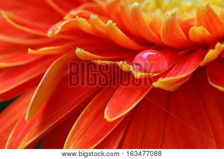 Orange daisy colors in water drops with orange background