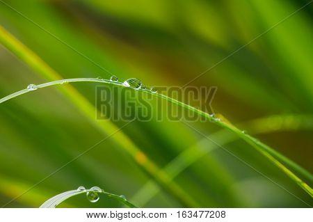 Morning dews on green grass in morning sunlight