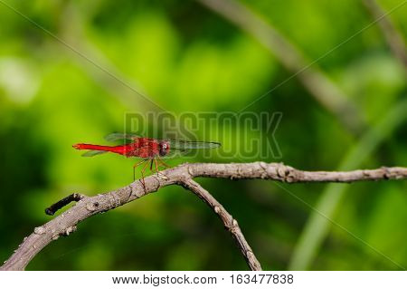 Ref dragonfly on dead tree with nature background