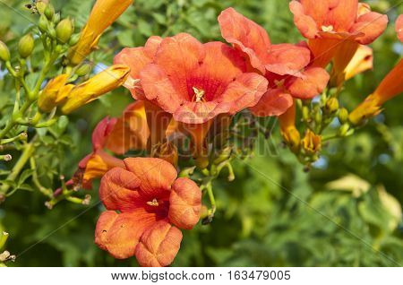 Trumpet creeper (Campsis sp.). It is a genus of flowering plants in the family Bignoniaceae native to Woodland in China and North America. It is a popular garden subject.
