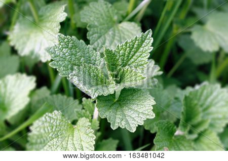 Common nettle on a green background. Plant