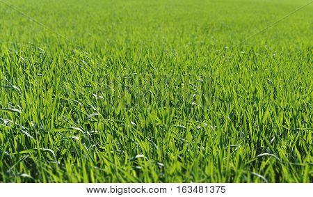 Green background of fresh grass. Green background