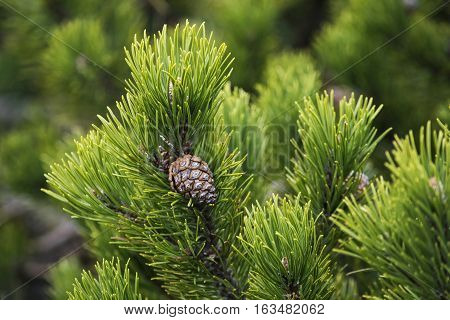 Creeping pine also called as dwarf mountainpine: closeup background