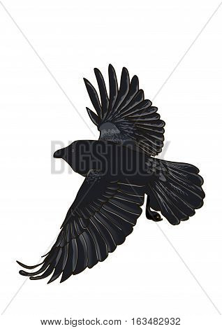 Large black crow in flight on a white background. Wings outstretched.