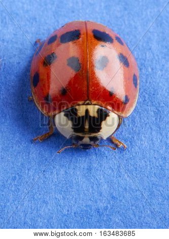 Close up of a single ladybug on a blue paper background.