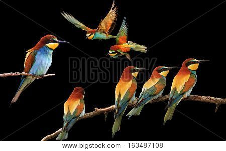 set of colored birds in different poses isolated on black, birds of paradise, bee-eaters, iridescent colors