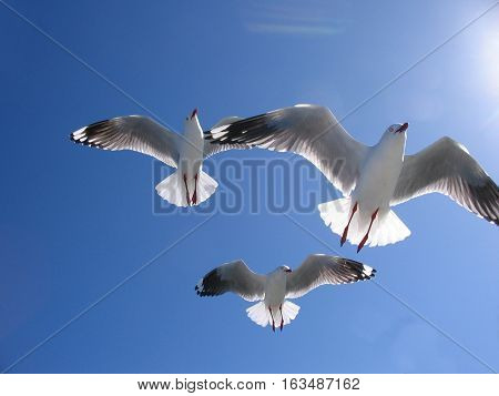 Three beautiful seagulls (Silver Gulls) in full flight overhead in a bright blue sky. New South Wales Australia.