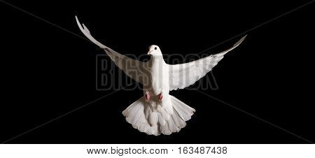 white dove with outstretched wings isolated on black, symbol of the new year, symbol of love, symbol of peace