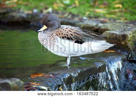 Sharp Winged Teal (Anus flavirostris oxyptera) duck which is found in South American countries