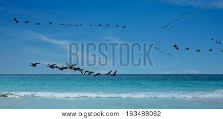 Flock of White cheek geese or also nuns goose