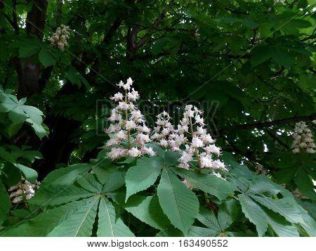 Flowering inflorescence of horse-chestnut among green leaves