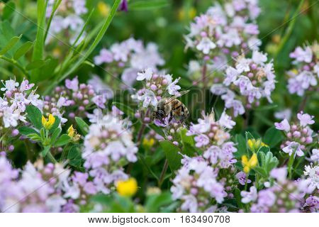 Closeup Of Wild Thyme With A Bee - Selective Focus, Copy Space