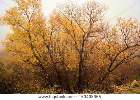 Cottonwood Trees and Willow Trees with leaves changing colors during autumn foliage taken in a cold fog