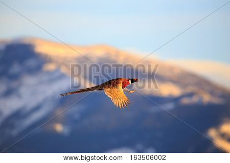 Male pheasant in flight with snow capped mountains in the background.
