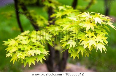 Green leaves on the branches of the Japanese maple (Acer palmatum)