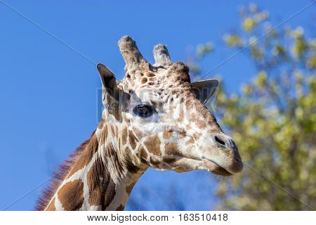Portrait of a giraffe. Here you can clearly see its horns and large eyes and typical giraffe pattern.