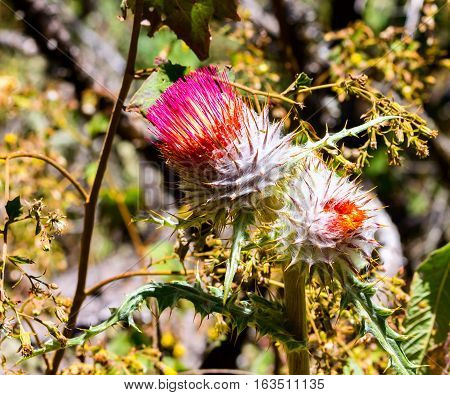 Cirsium neomexicanum is a North American species of thistle known by the common names New Mexico , powderpuff , lavender , foss and desert thistle.