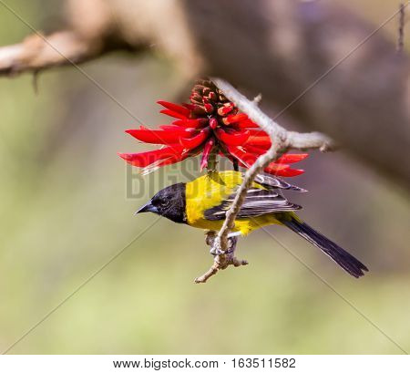 Audubon's oriole, formerly known as the black-headed oriole, a New World passerine inhabiting the forests and thickets  and the Mexican coast. It is the only one to  have a black hood and yellow body