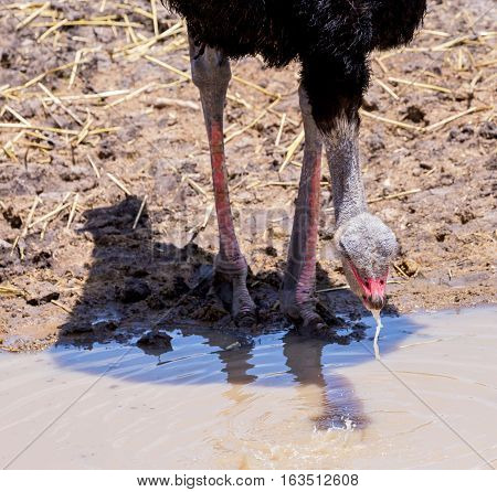 The ostrich or common ostrich is either one or two species of large flightless birds native to Africa, the only living member of the genus Struthio, which is in the ratite family.