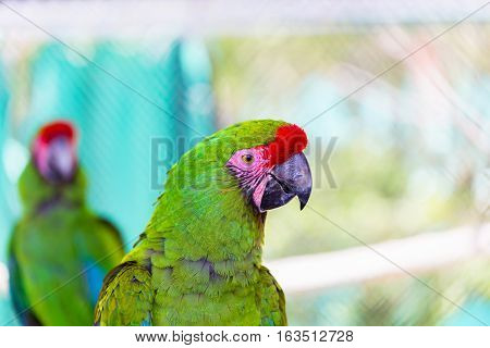 The military macaw is a large parrot and is medium-sized. Though considered vulnerable as a wild species, it is still commonly found in the pet trade industry. It is found in the forests of Mexico.