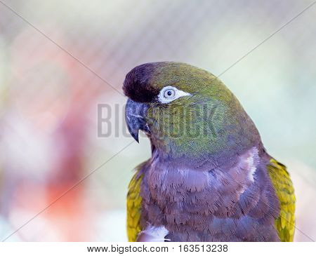 Pionus is a genus of medium-sized parrots native to Mexico, and Central and South America. Characteristic of the genus are the chunky body, bare eye ring, and short square tail.