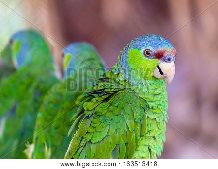 The lilac-crowned amazon is a parrot endemic to the Pacific slopes of Mexico. Also known as Finsch's amazon, the parrot is characterized by green plumage, a maroon forehead, and violet-blue crown.