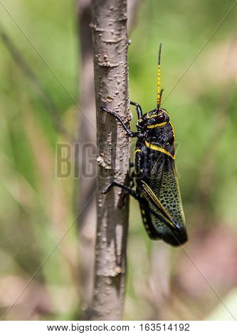 The western horse lubber grasshopper is a relatively large grasshopper species of the grasshopper  family found in the arid lower Sonoran life zone of the southwestern United States and  Mexico.