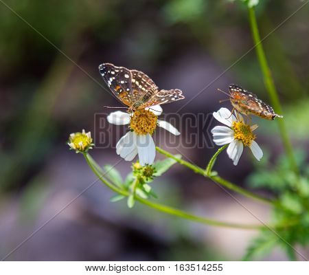 The bordered patch is a North and South American butterfly in the family Nymphalidae. It is sometimes also called the sunflower patch.