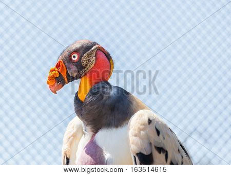 The King Vulture is the most colorful of vultures and competes with parrots for being the most colorful.
