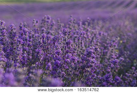 Lavender purple flowers blooming on lavender field in the summer