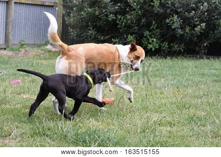 A Labrador puppy and adolescent Border Collie are seen engaged in a tug-o-war over a rope toy