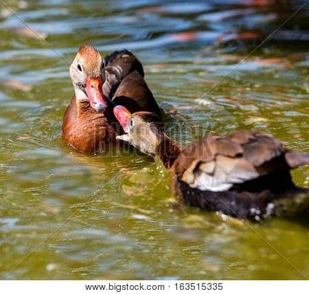The whistling ducks or tree ducks are a subfamily, of the duck, goose and swan family of birds. They are not true ducks.