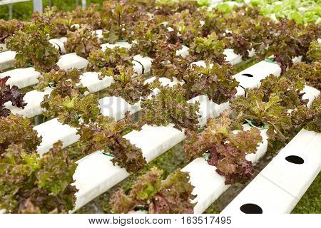 Fresh salads in the gardenHydroponic vegetables growing in greenhouse