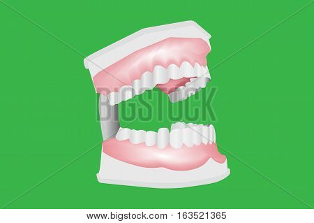 Dental Model of teeth Isolated on white background Vector Illustration with eps 10