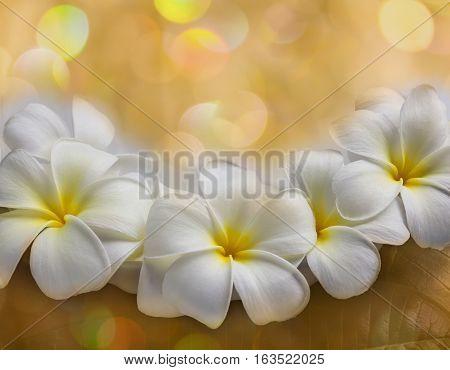 White Flower Plumeria Or Frangipani On Golden Bokeh Background