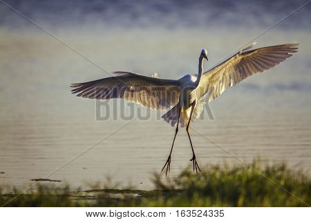Great egret in Arugam bay lagoon, Sri Lanka ;specie Ardea alba family of ardeidae