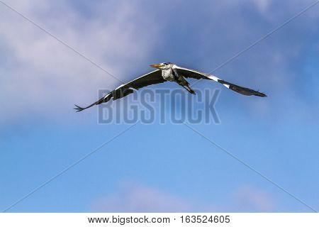 Grey heron in Arugam bay lagoon, Sri Lanka ;specie Ardea cinerea family of ardeidae